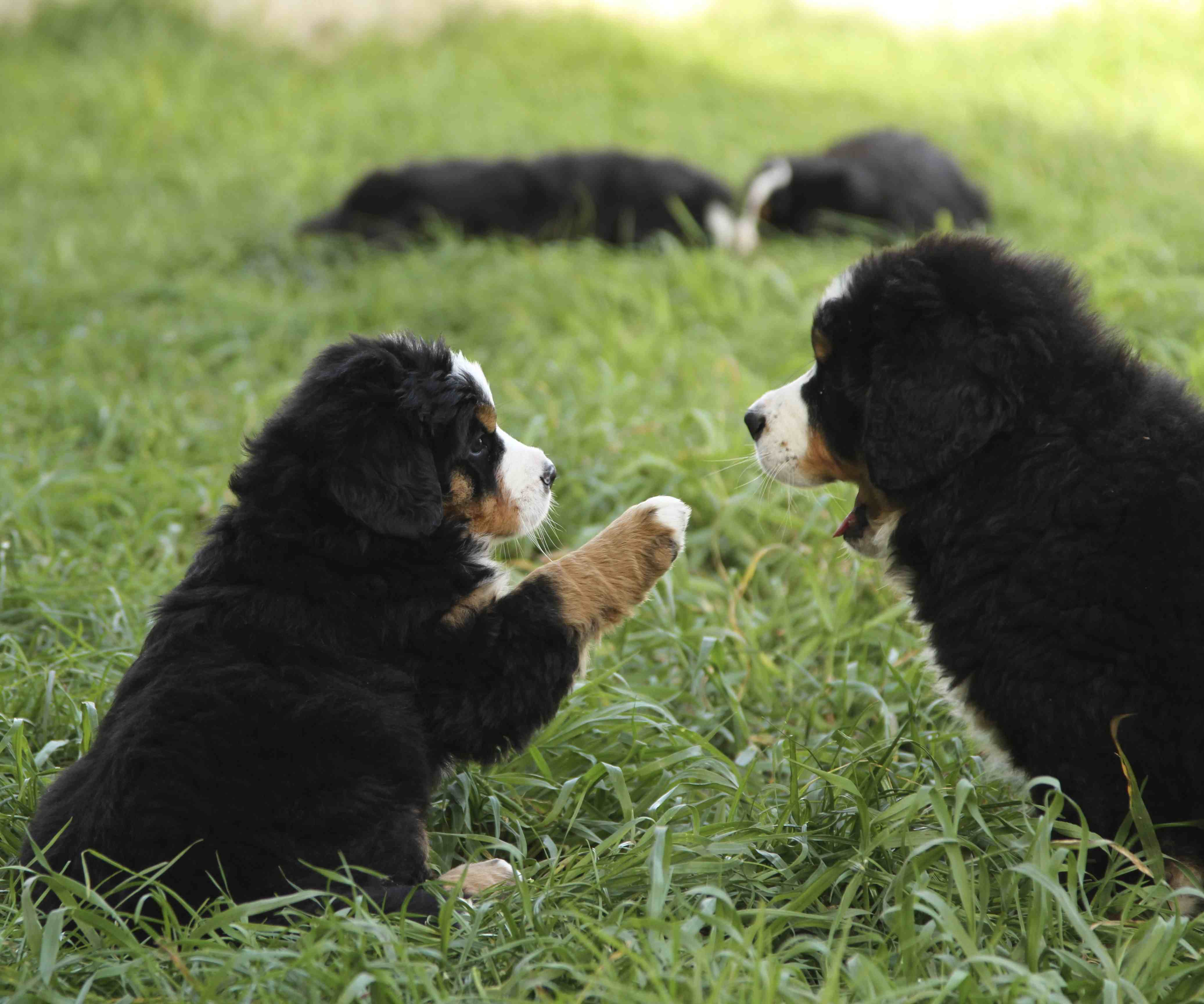 Puppies | Bernese Mountain Dog Club of Victoria Inc